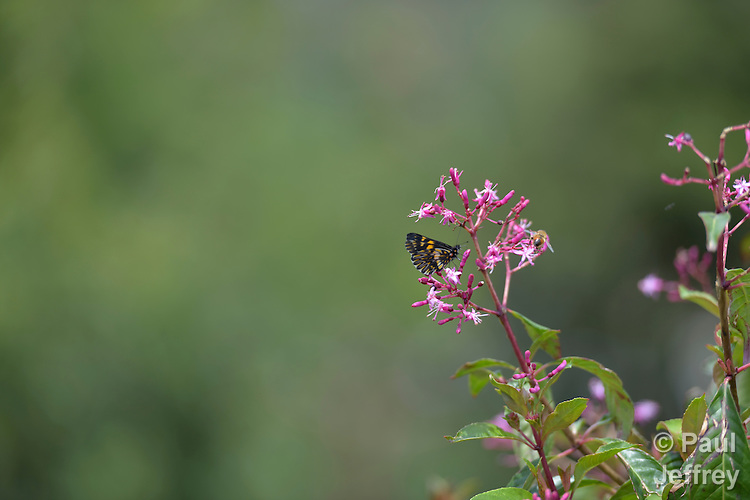 A butterfly on flowers in Comitancillo, Guatemala.