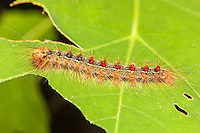 A Gypsy Moth (Lymantria dispar) caterpillar (larva) perches on a partially eaten oak tree leaf.