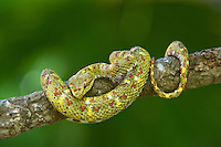 489180001 a captive yellowish green and red spotted eyelash viper bothriechis schlegelii sits coiled on a tree limb species is native to south and central america