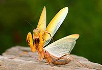 Gottesanbeterin, Europäische Gottesanbeterin, Drohhaltung, Abwehrhaltung, seltene gelbe Farbform, Fangschrecke, Mantis religiosa, Praying Mantis, Fangschrecken, Mantodea, mantises, mantes, mantid, mantids, Mante religieuse, mantoptères