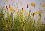 Small flock of Carmine Bee-Eaters perched on stalks