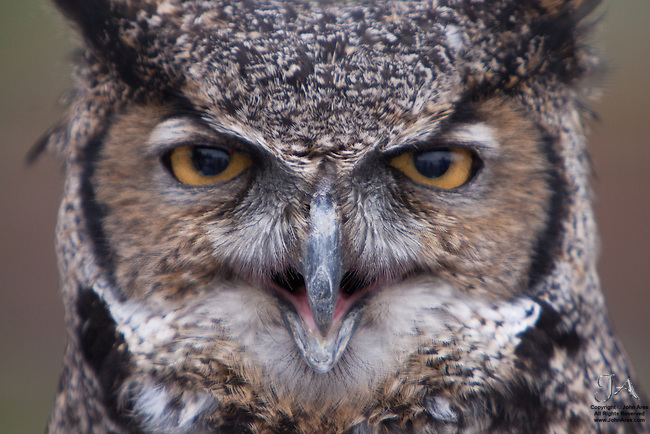 Great horned Owl front view.  Appears to be speaking. Captive