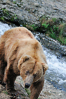 A brown bear looks at the photographer at McNeil River Falls,  in Alaska's McNeil River State Game Sanctuary.