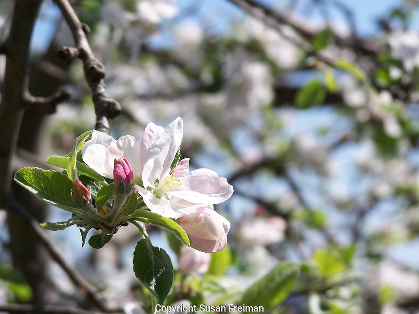 Flowering apple tree, Joan Gussow's garden