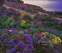 Dawn, Sea Lavender, limonium latifolium, Leo Carillo State Beach, Malibu, California
