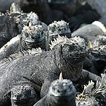 Seul lezard marin au monde, l iguane des Gualapagos (Amblyrhynchus cristatus) a colonise les cotes rocheuses de l archipel. Ces creatures dont l age pourrait avoisiner les 9 millions d'annees peuvent atteindre 1m de long pour  les plus grands (sur l ile Isabela). Il se nourrit d'algues vertes  et peut facilement plonger une heure jusqu a 20 m de profondeur.