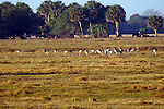 A flock of sandhill crane feed in a pasture.