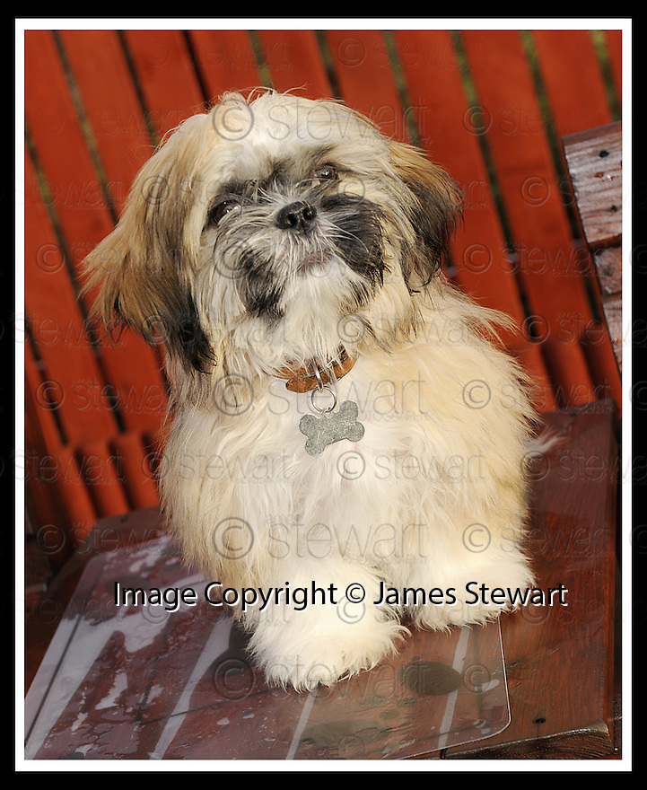 02/12/2008  Copyright Pic: James Stewart.File Name : sct_jspa07_bil_munnoch.HAMISH THE SHIH-TZU WHO HAS BEEN OFFERED  TO AMERICAN PRESIDNT ELECT BARAK OBAMA AS A PET FOR HIS CHILDREN BY HIS OWNER BILL MUNNOCH FROM FALKIRK.....James Stewart Photo Agency 19 Carronlea Drive, Falkirk. FK2 8DN      Vat Reg No. 607 6932 25.Studio      : +44 (0)1324 611191 .Mobile      : +44 (0)7721 416997.E-mail  :  jim@jspa.co.uk.If you require further information then contact Jim Stewart on any of the numbers above.........