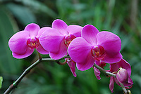 Orchids at the Franklin Conservatory, Columbus, Ohio