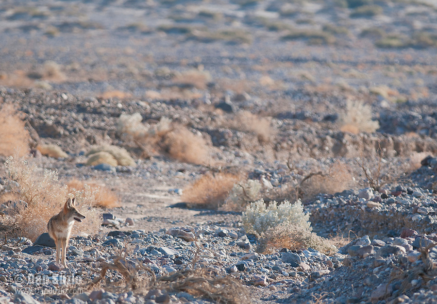 Coyote, Canis latrans, near Badwater Road in Death Valley National Park, California