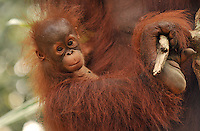 Delima's baby is never more than feet from her body at the Semenggoh Reserve, Sarawak, Malaysia, August 2009.  They  they are part of Sarawaks's Orangutang Rehabilitation Programme.  Delima is a rehabilitated Orangutang that lives semi-wild. <br />