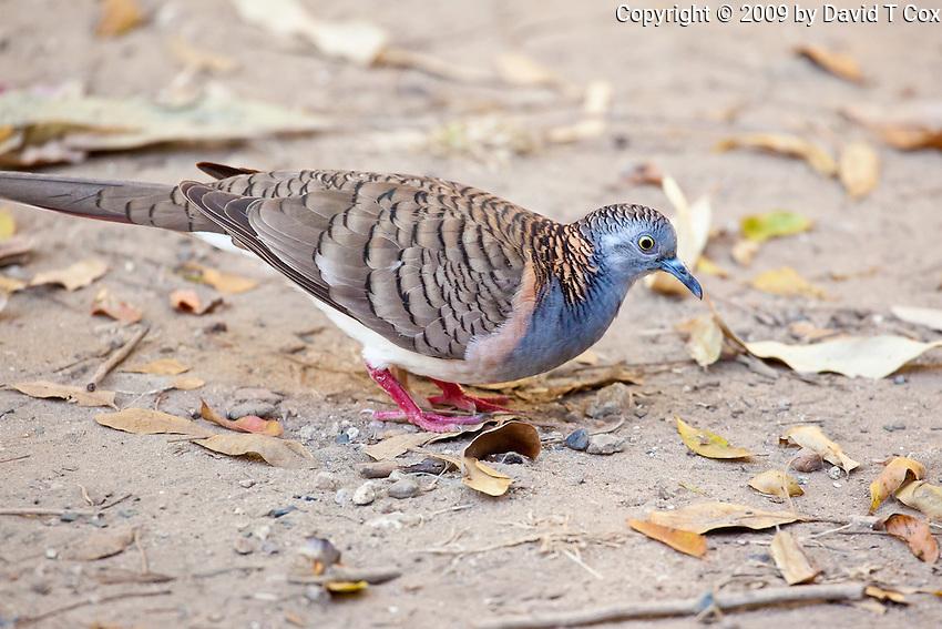 Bar-shouldered Dove, Cape Hillsbourough NP, Queensland, Australia