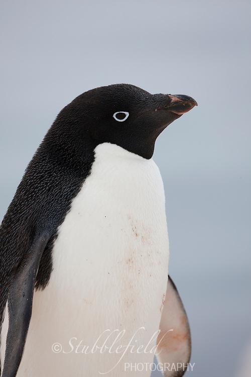 Adelie Penguin (Pygoscelis adeliae) on Paulet Island, Antarctica.
