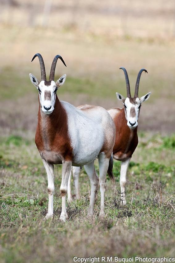 Pair of Scimitar Oryx