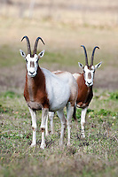 Pair of Scimitar Oryx