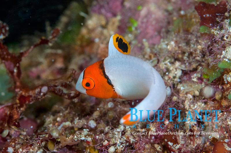 Juvenile Bicolor Parrotfish, Cetoscarus bicolor, Bualo dive site, Manado, Sulawesi, Indonesia, Pacific Ocean