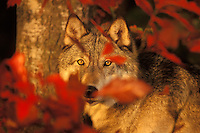 Gray wolf (Canis lupus) with fall color.