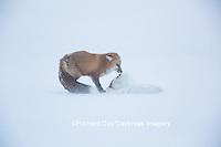 01871-02818 Red Fox (Vulpes vulpes) eating Arctic Fox (Alopex lagopus) at Cape Churchill, Wapusk National Park, Churchill, MB