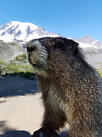 Close-up of hoary marmot (Marmota caligata) looking at camera, Mount Rainier National Park, Washington State, USA