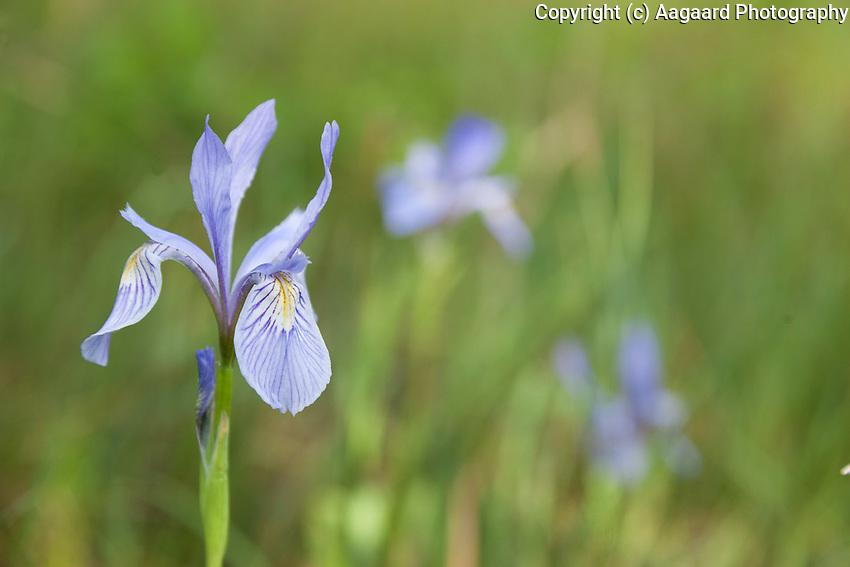 Wild iris, Moraine Park area of Rocky Mountain National Park