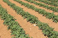 Young potato plants<br /> ©Tim Scrivener Photographer 07850 303986<br />      ....Covering Agriculture In The UK....
