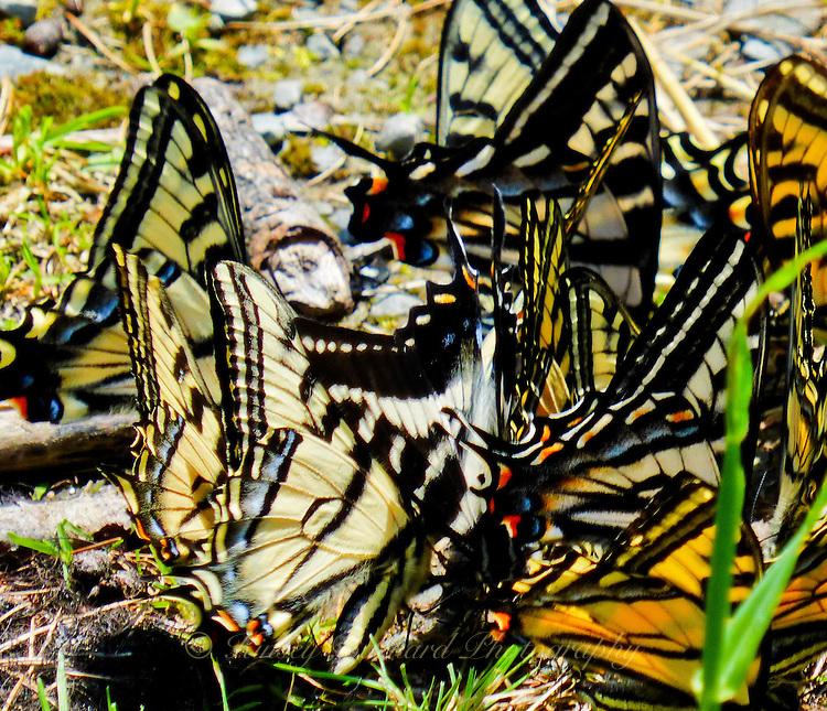 Photos of butterflies in Montana