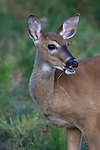 White-tailed deer (Odocoileus virginianus) portrait.  Fall. Winter, WI.