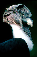 BIRDS OF PREY<br /> Andean Condor<br /> (Vultur gryphus)
