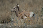 Bighorn Sheep at Spences Bridge, B.C. in spring.