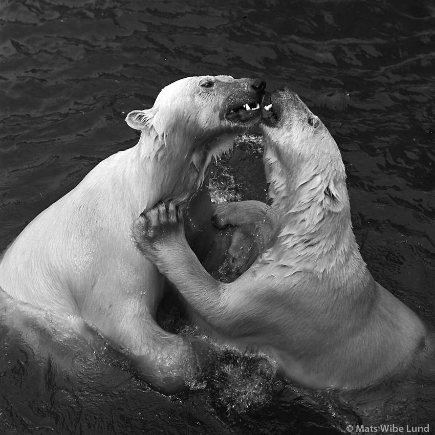&Iacute;sbirnir &iacute; S&aelig;d&yacute;rasafninu &iacute; Hafnarfir&eth;i, 1972<br /> <br /> Polar bears in the Maritime Zoo in Hafnarfj&ouml;r&eth;ur, 1972
