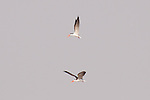 Two african skimmers dueling in midair over the Zambezi River.
