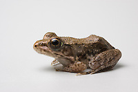 Green frog, Rana clamitans melanota.  Native to eastern United States.