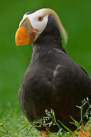 Tufted Puffin (Fratercula cirrhata), Pacific Northwest Coastline.  May
