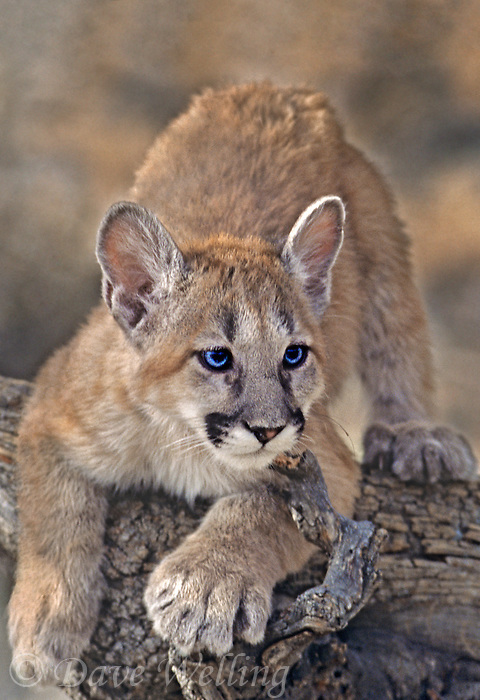 a captive mountain lion cub felis concolor sits on a tree limb in central montana
