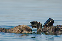 Sea Otter (Enhydra lutris) pup swimming by mom.