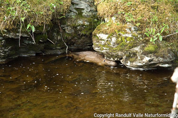 Bever hjemmer seg under en klippe ---- Beaver hiding under a cliff
