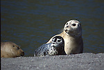 Harbor seal female and pup