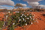 Desert wild flowers against the red sand dunes.