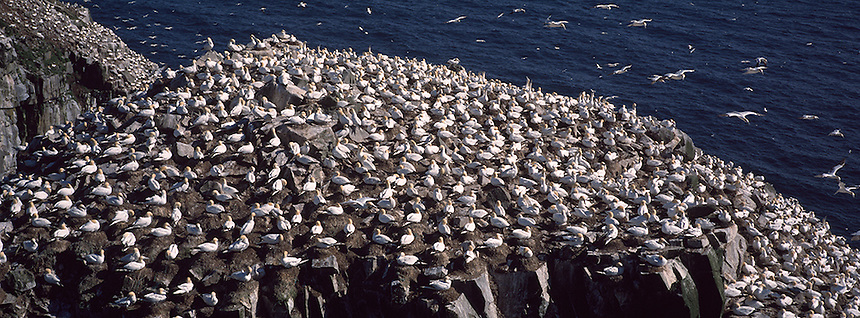 Northern Gannets nesting at Cape St Marys Ecological Reserve, Newfoundland Photograph by Peter E. Randall