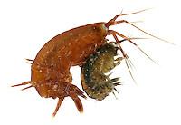 Gammarus locusta