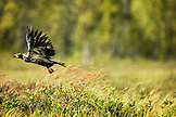 USA, Alaska, Redoubt Bay, Big River Lake, a juvenile eagle flying out of the marsh on Redoubt Bay