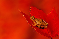 Small ocher tree frog sitting on red maple leaf, Acer rubrum