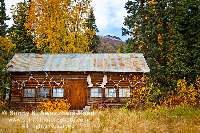 Historic log cabin surrounded by golden fall colors, Wrangell - St. Elias National Park & Preserve, Southcentral Alaska, Autumn.