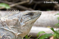 0626-1110  Close up of Head, Black Spiny-tailed Iguana (Black Iguana, Black Ctenosaur), On Half-moon Caye in Belize, Ctenosaura similis  © David Kuhn/Dwight Kuhn Photography