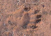 A baboon footprint.