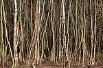 Dense woodland of silver birch trees, Betula pendula, Suffolk Sandlings AONB, Suffolk, England, UK