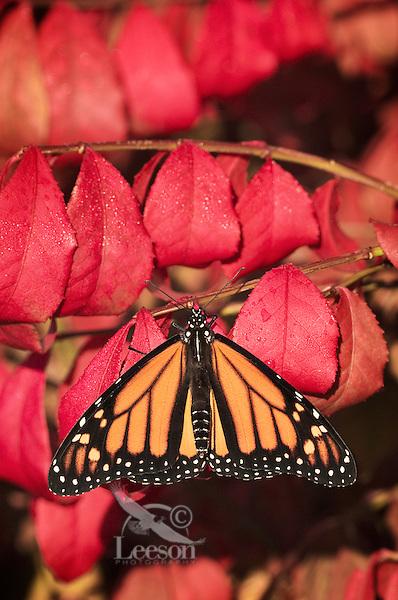 Monarch Butterfly (Danaus plexippus) on Burning Bush shrub (Euonymus alata). Early Fall. Nova Scotia, Canada.