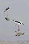 Black-necked Stilts, Bolsa Chica Wildlife Refuge, Southern California