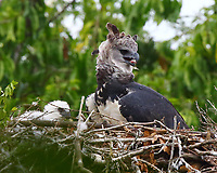 Harpy eagle female at nest to feed chick