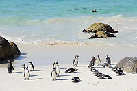 Spheniscus demersus, Brillenpinguine, Kolonie von Pinguine,  African penguin or Jackass penguin or black-footed penguin, Colony of penguins, Suedafrica, Simons Town, False Bay, Boulders Beach, South Africa